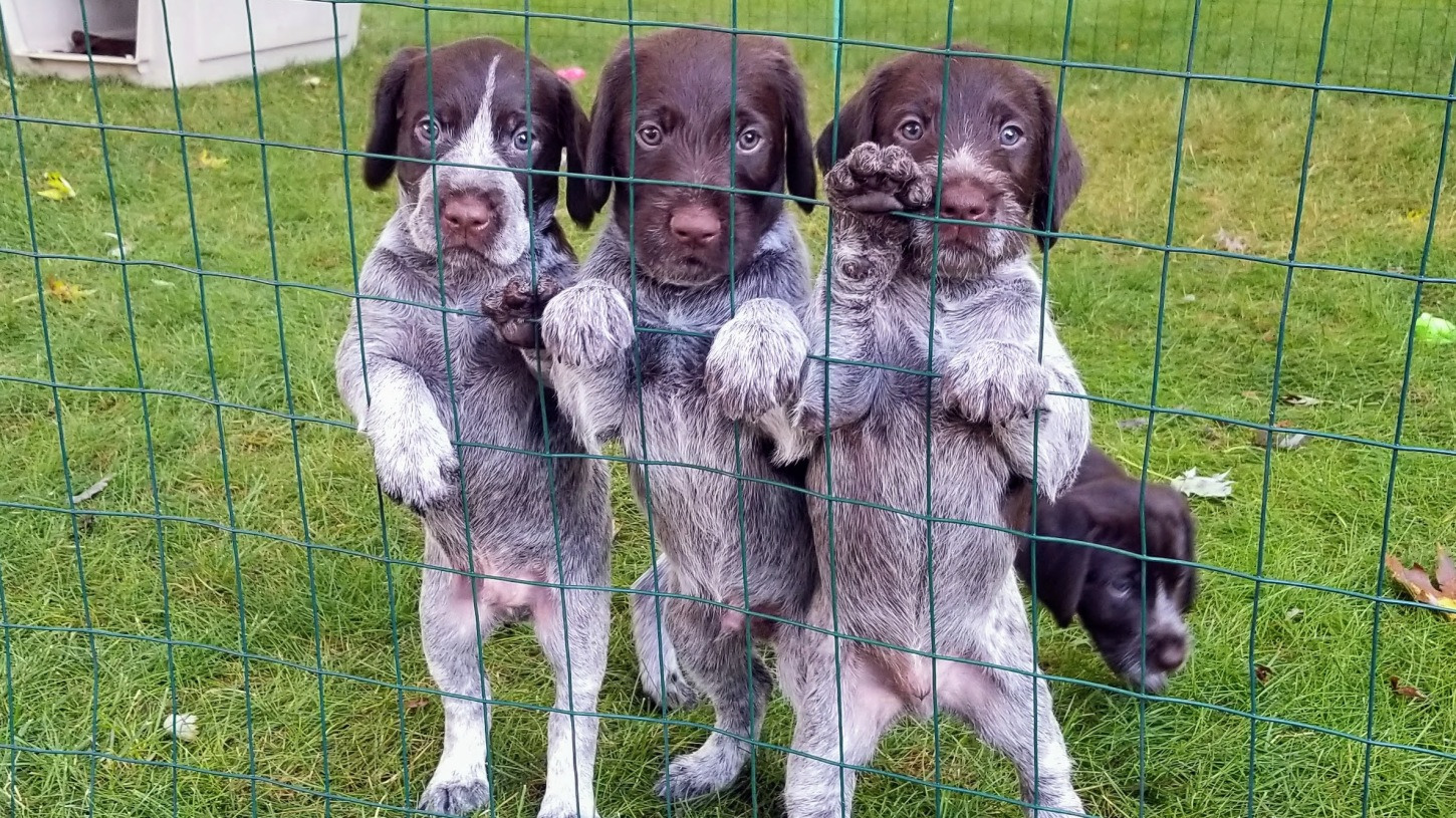 Bearded Gundogs German Wirehaired Pointers
